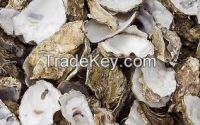 Clean Oyster Shell
