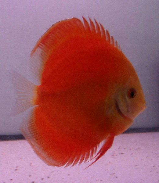 Discus fish for sale in new zealand 2017 fish tank for Live discus fish for sale